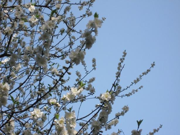 2009初の桜