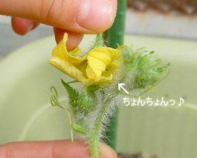 西瓜の人工授粉の仕方・プランター菜園