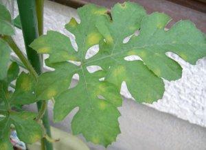 西瓜の栽培・スイカの病気