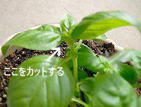 バジルの栽培方法
