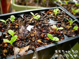 サラダ菜の栽培の方法