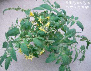 ミニトマトの挿し芽の方法