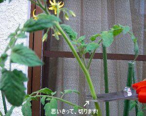トマトの挿し芽・挿し木