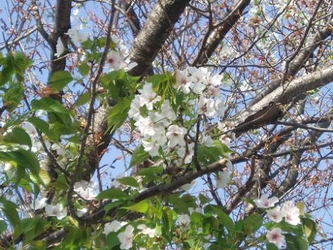 45学校の桜