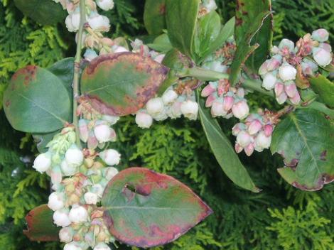 45ブルーベリーの花
