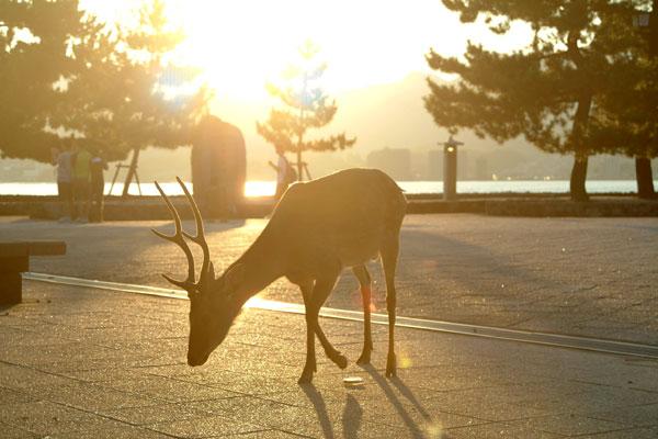 厳島神社20夕日鹿