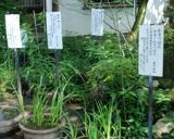 万葉植物 13-1