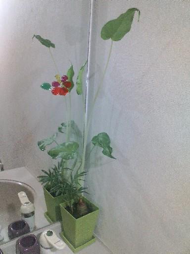 洗面所の植物・くわずいも②
