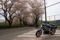 SVさんと桜