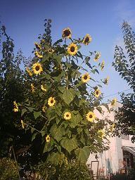 sunflw.jpg.jpg