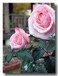 rose2005_12_05_01.jpg