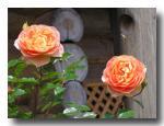 rose2006_05_22_02.jpg