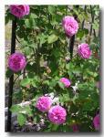 rose2006_05_22_08.jpg