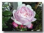rose2006_05_25_03.jpg