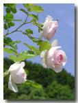 rose2006_05_25_12.jpg