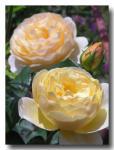 rose2006_05_25_15.jpg