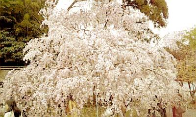 平野神社 枝垂桜