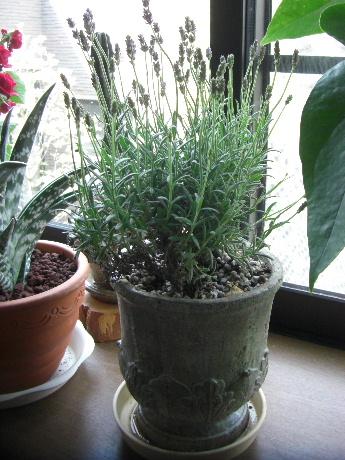 ラベンダー鉢植え