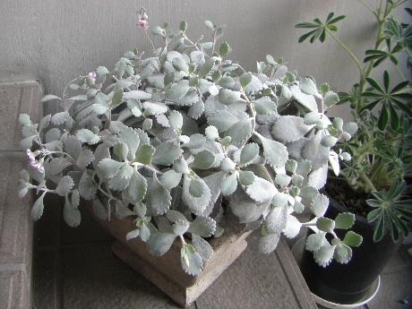 白銀の舞い 鉢植え
