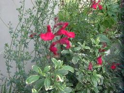 斑入りセージ花