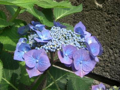 アジサイ6花