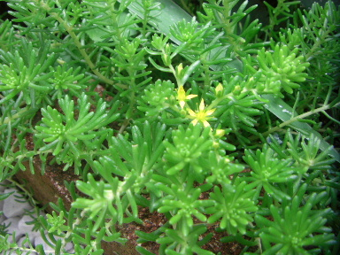 庭のセダムの花