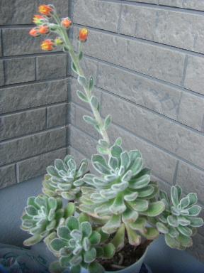 ボンビシナっぽい子の花
