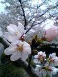 一の坂桜2