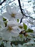 一の坂桜3