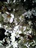 二条城 夜桜