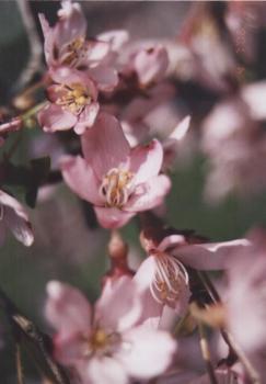 2006.4.7 徳佐のしだれ桜 3