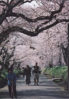 2006.4.7 徳佐のしだれ桜 4
