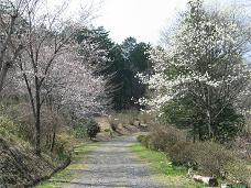 4-14 瞑想の森の桜