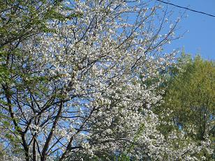 04-23 山桜