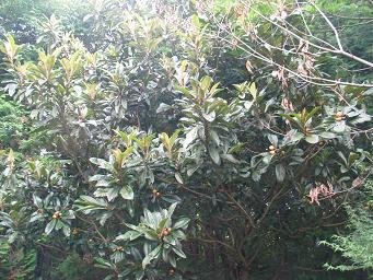 07-17 ビワの木