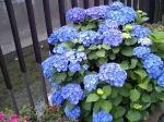 仙川の紫陽花1