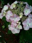 仙川の紫陽花2