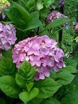 野川の紫陽花