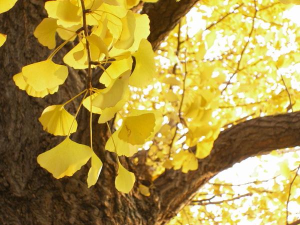 黄色輝く銀杏