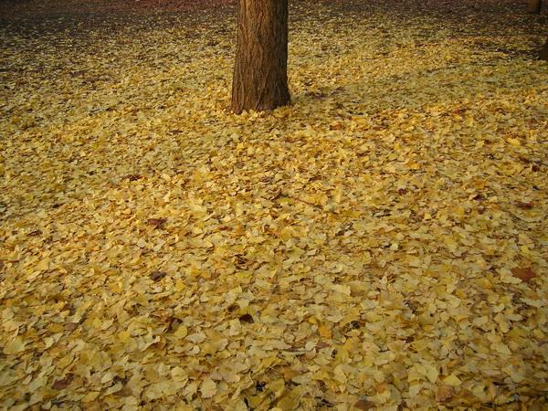黄色の絨毯