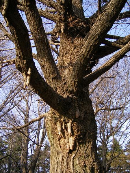 野川公園謎の木