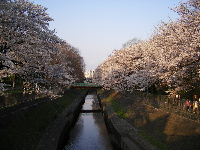 善福寺川桜2