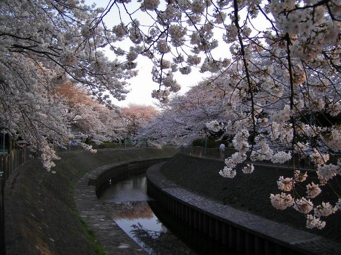 善福寺川桜4