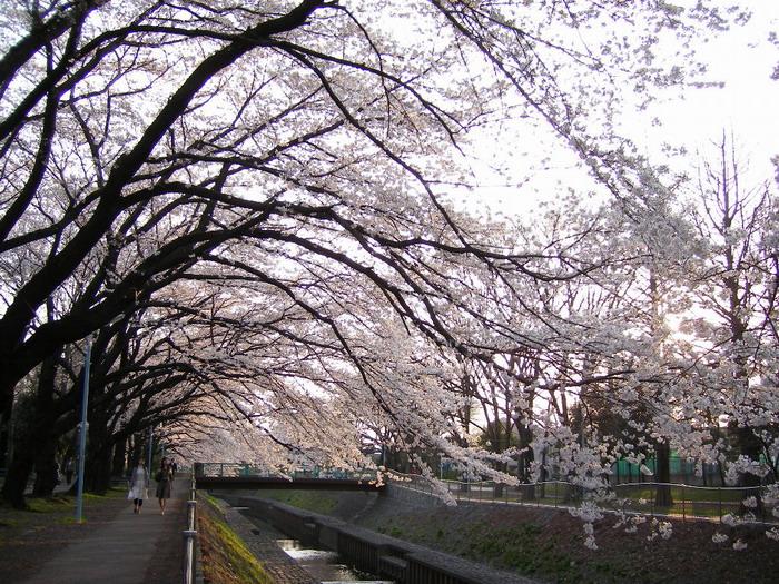 善福寺川桜1