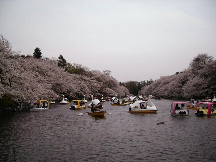 井の頭桜4
