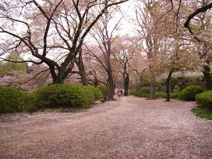 桜散る遊歩道