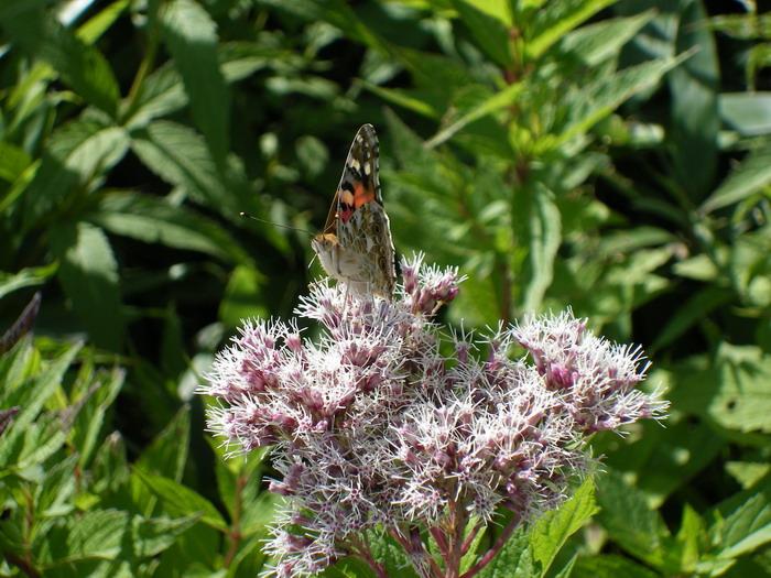 黒部平の蝶