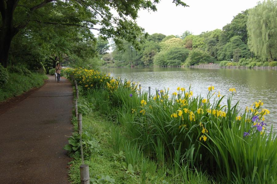 ショウブの花咲く散歩道