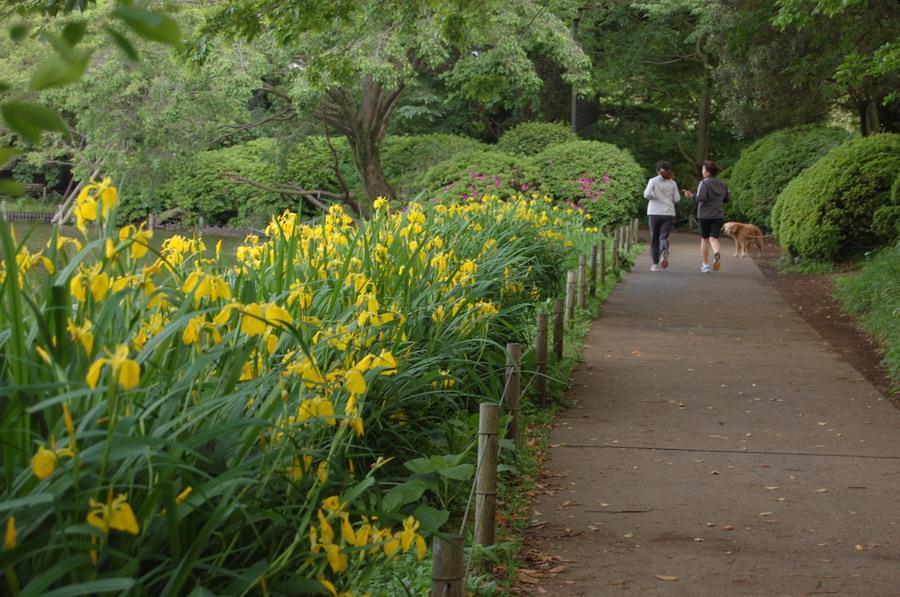キショウブの花咲く散歩道2