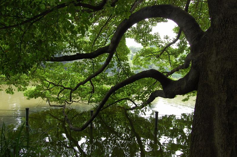 池に枝を垂れる木